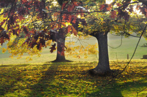 Autumn trees at Knole Park (National Trust)